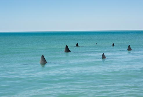 getty rm photo of shark fins in water
